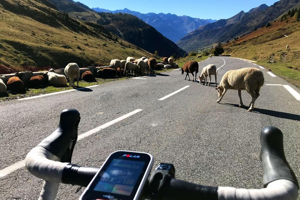 COL DU TOURMALET Ein Jugendtraum mit dem Rennrad / Auf der Abfahrt nach Luz-Saint-Sauveur kreuzen Schafe den Weg © stefandrexl.com